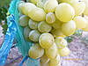 Саженцы  винограда  Вера