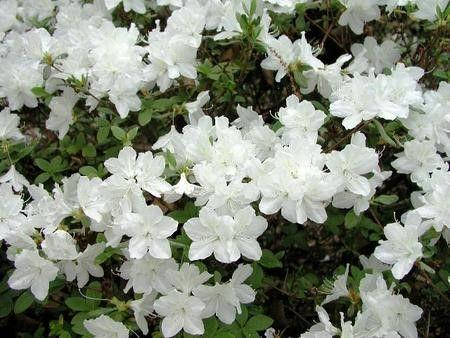 Рододендрон азалия 'Pleasant White'/Rhododendron 'Pleasant White', фото 2