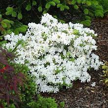 Рододендрон азалия 'Pleasant White'/Rhododendron 'Pleasant White'