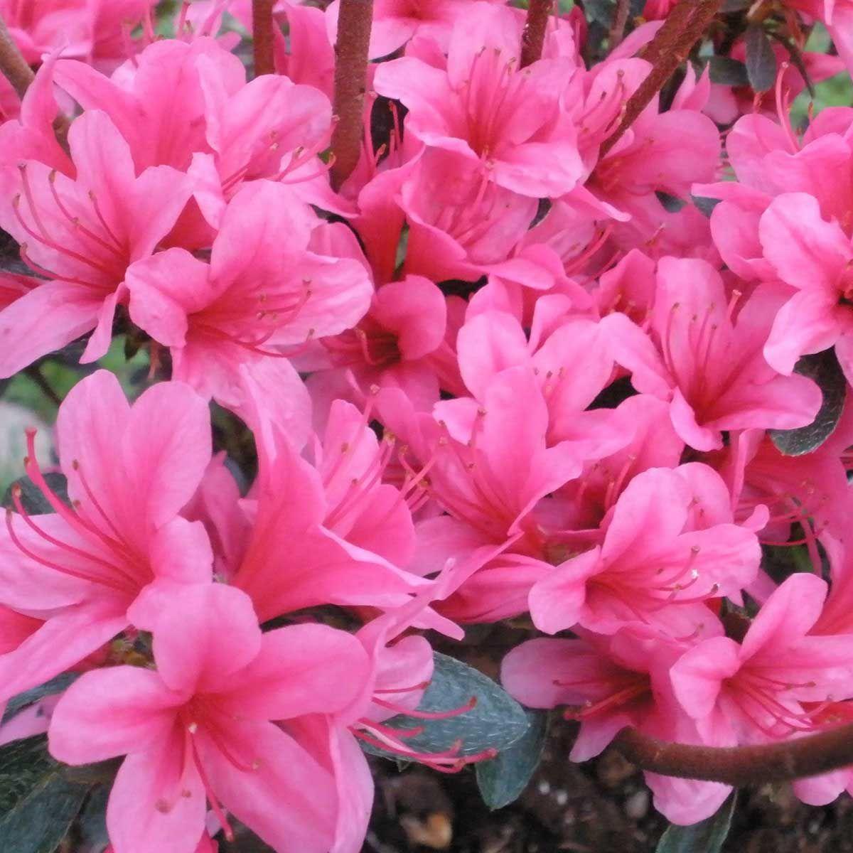 Рододендрон азалия японская 'Silvester'/Rhododendron 'Silvester'