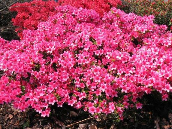 Рододендрон азалия японская 'Silvester'/Rhododendron 'Silvester', фото 2