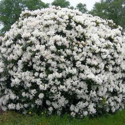 Рододендрон 'Cunningham's White'/Rhododendron 'Cunningham's White' (С3), фото 2