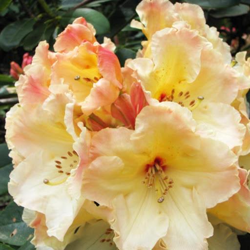 Рододендрон 'Horizon Monarch' /Rhododendron 'Horizon Monarch' (С4)