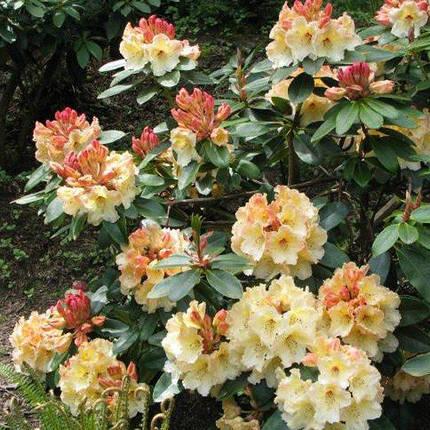 Рододендрон 'Horizon Monarch' /Rhododendron 'Horizon Monarch' (С4), фото 2