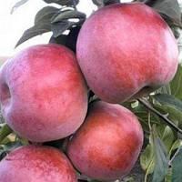 Саженцы яблоня Деличия летне-осенний (Однолетка)
