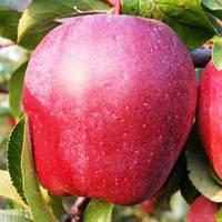 Саджанці яблуня Глостер осінній (Однолітка)
