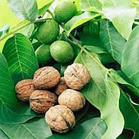 Грецкий орех Клишковский (привитый) - раннего срока, урожайный, промишленый