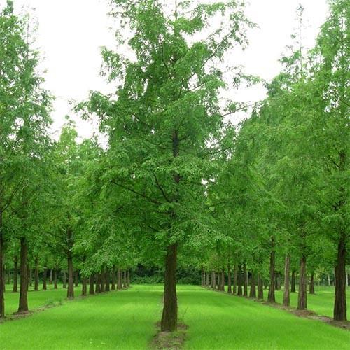 Метасеквойя глиптостробовидная (Metasequoia glyptostroboides)