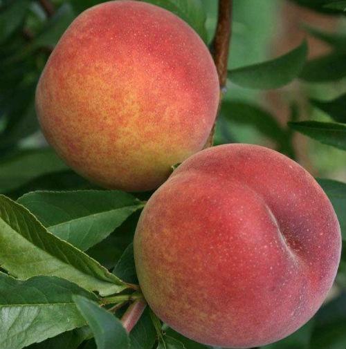 Персик Юбилейный Сидоренко - средний, крупноплодный, урожайный