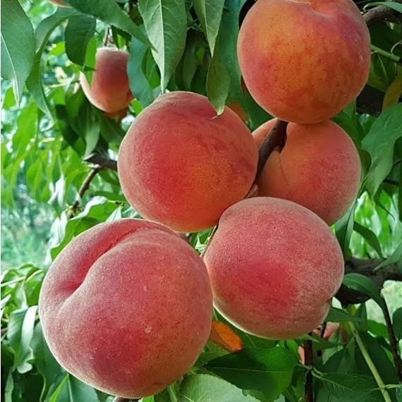 Персик Фламинго - средний, крупноплодный, урожайный
