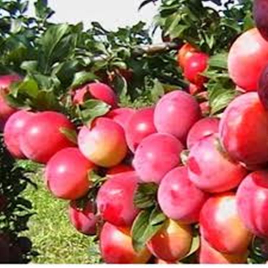 Колоновидный гибрид сливы и персика Сливовый нектарин - среднего срока, транспортабельная, морозостойкая