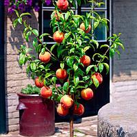 Персик колоновидный Роман - раннего срока, урожайный, морозостойкий