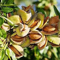 Миндаль Десертный - раннего срока, крупноплодный, урожайный