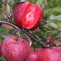 Яблоня Блуди Плугман - зимняя, красномясая, зимостойкая