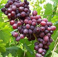 Виноград Мускат Новошахтинский - раннего срока, урожайный, морозостойкий