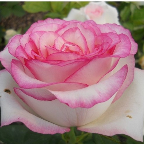 Саженцы розы чайно-гибридной Белла Вита (Rose Bella Vita)