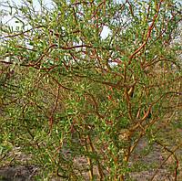 Ива Мацуды, Мацудана (Salix matsudana)
