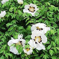Пион Древовидный (Paeonia)