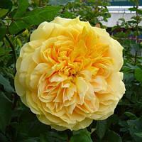 Роза  кустовая 100 Идей Сада (Голдн Зет) (Rose 100 Idees Jardin (Golden Zest))