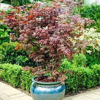 Японский клен (Acer japonicum)