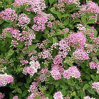 Спирея японская Литтл Принцесс (Spiraea japonica Little Princess)