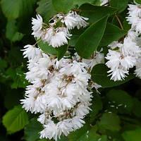 Дейция шершавая Кандидиссима (Deutzia scabra Candidissima)