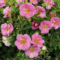 Лапчатка кустарниковая Лавли Пинк (Potentilla fruticosa Lovely Pink)