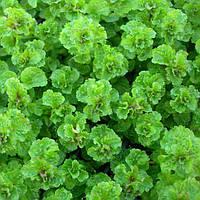 Мята кудрявая Криспа ( Mentha spicata Crispa)