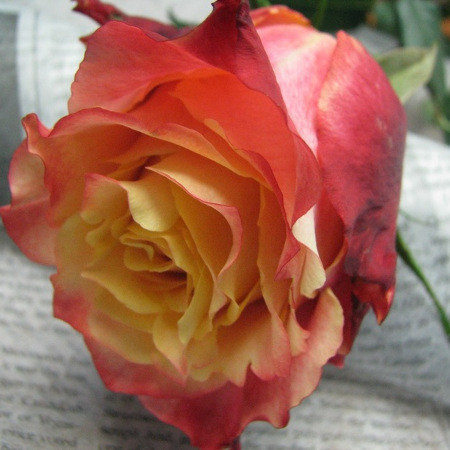 Саженцы розы чайно-гибридной 3-Д (Rose 3D)