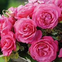 Саженцы розы чайно-гибридной Элиза (Rose Eliza)