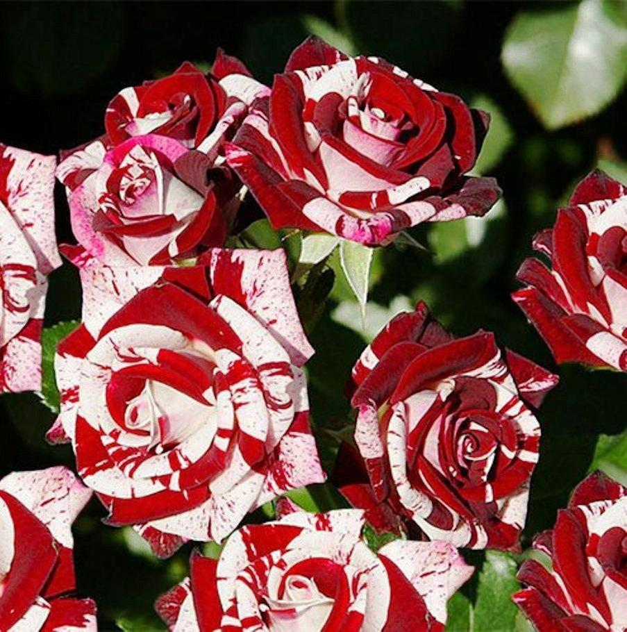 Саженцы розы - спрей Флэш Найт (Flash Night)