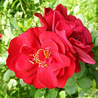 Саженцы розы - парковой Хансаланд (Hansaland)