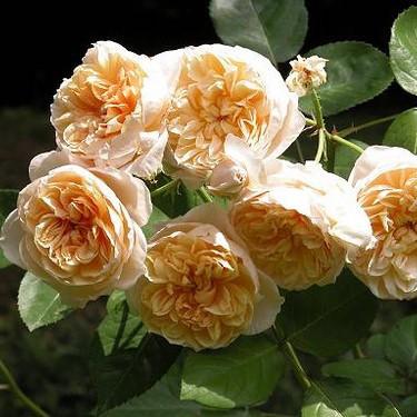 Саженцы розы английской Джейн Остин (Rose Jayne Austin)