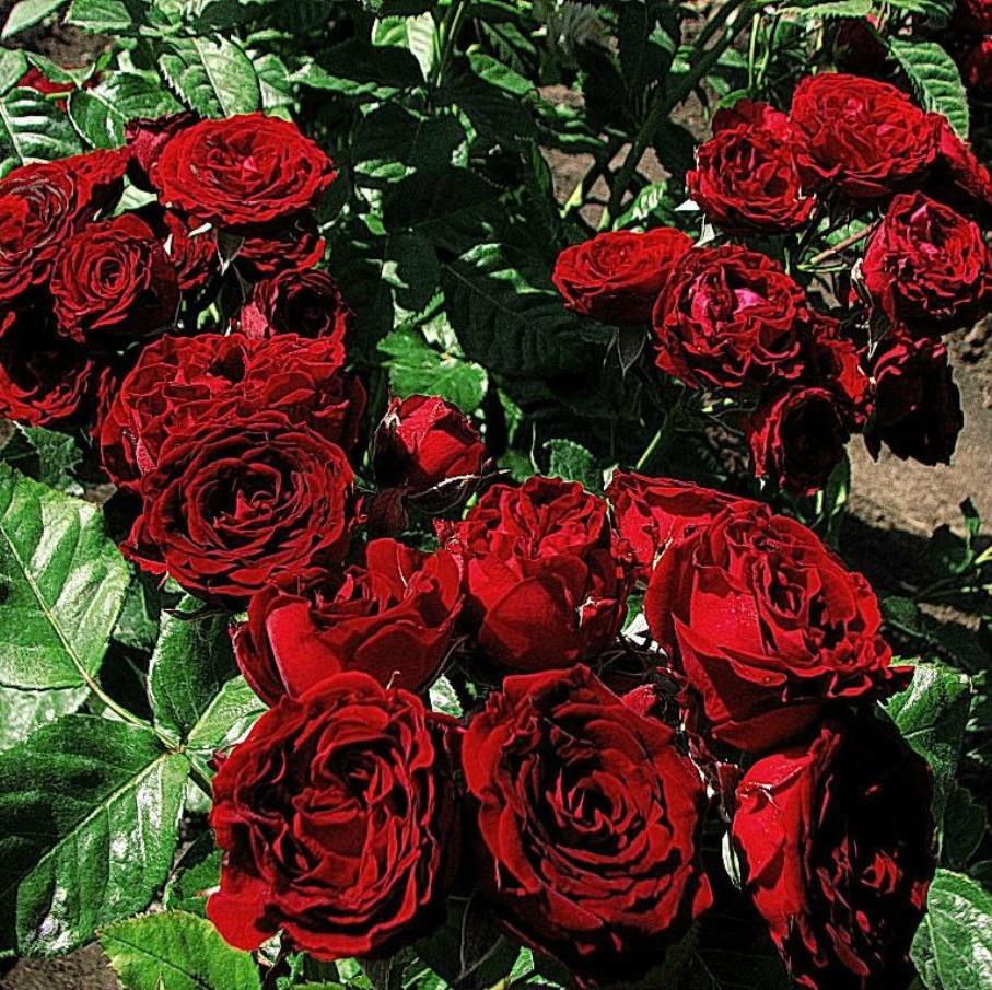 Роза - бордюрная Цверг Кенин 78 (Rose Zwergkönig 78)