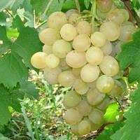 Вегетирующие саженцы столового винограда Антоний Великий - раннее-среднего срока, крупноплодный, морозостойкий
