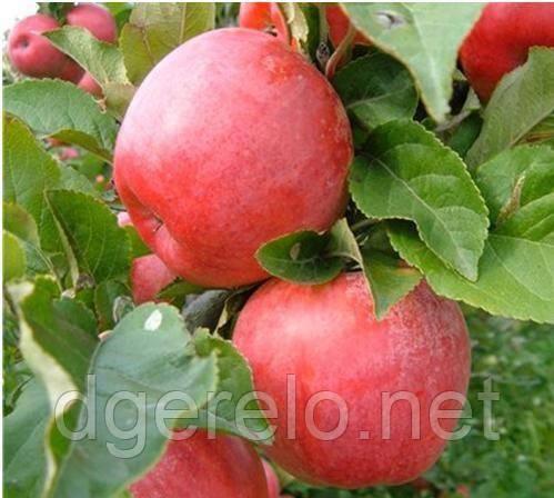 Саженцы яблони  Хоней крисп (зимний) 2 летний