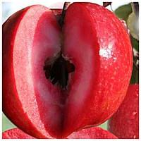 Яблоня красномясая Джерси