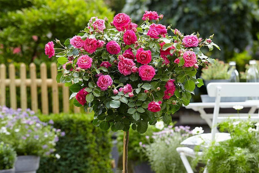 Саженцы Роза Rose Gaujard (Роуз Гуаяр) (лучшая цена купить оптом и в розницу)