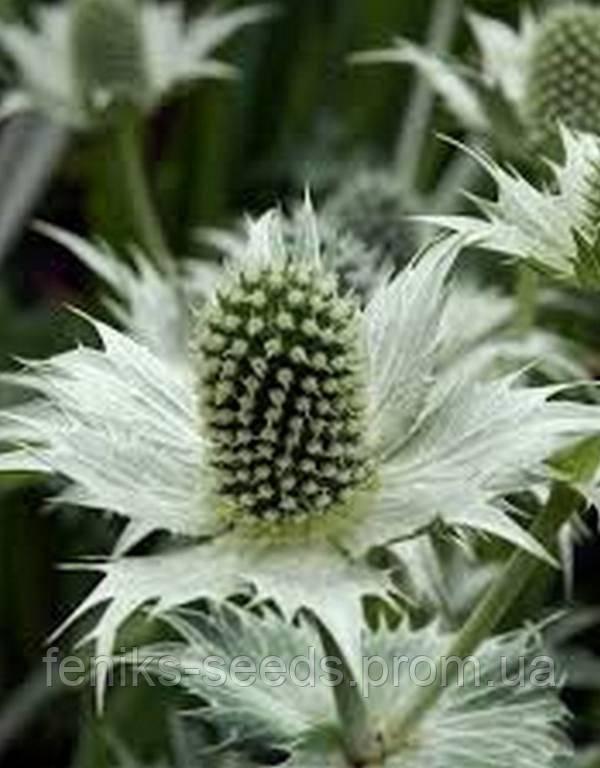 Синеголовник Белое Сияние семена