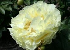 Пион Lemon Chiffon