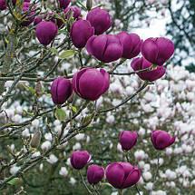 Магнолия 'Black Tulip', (h 60-80), фото 3