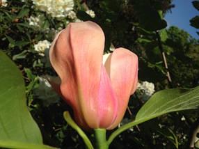 Магнолия 'Flamingo', (h 160-170), фото 3
