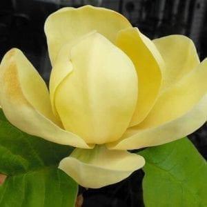 Магнолія 'Honey Tulip', (h 60-80), С5, фото 2