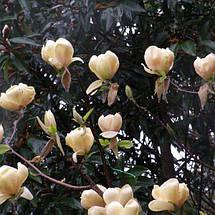 Магнолія 'Honey Tulip', (h 60-80), С5, фото 3