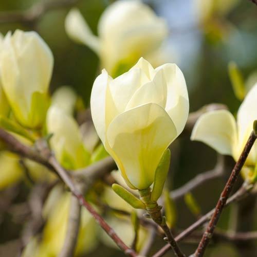 Магнолія 'Honey Tulip', (h 60-80), С5