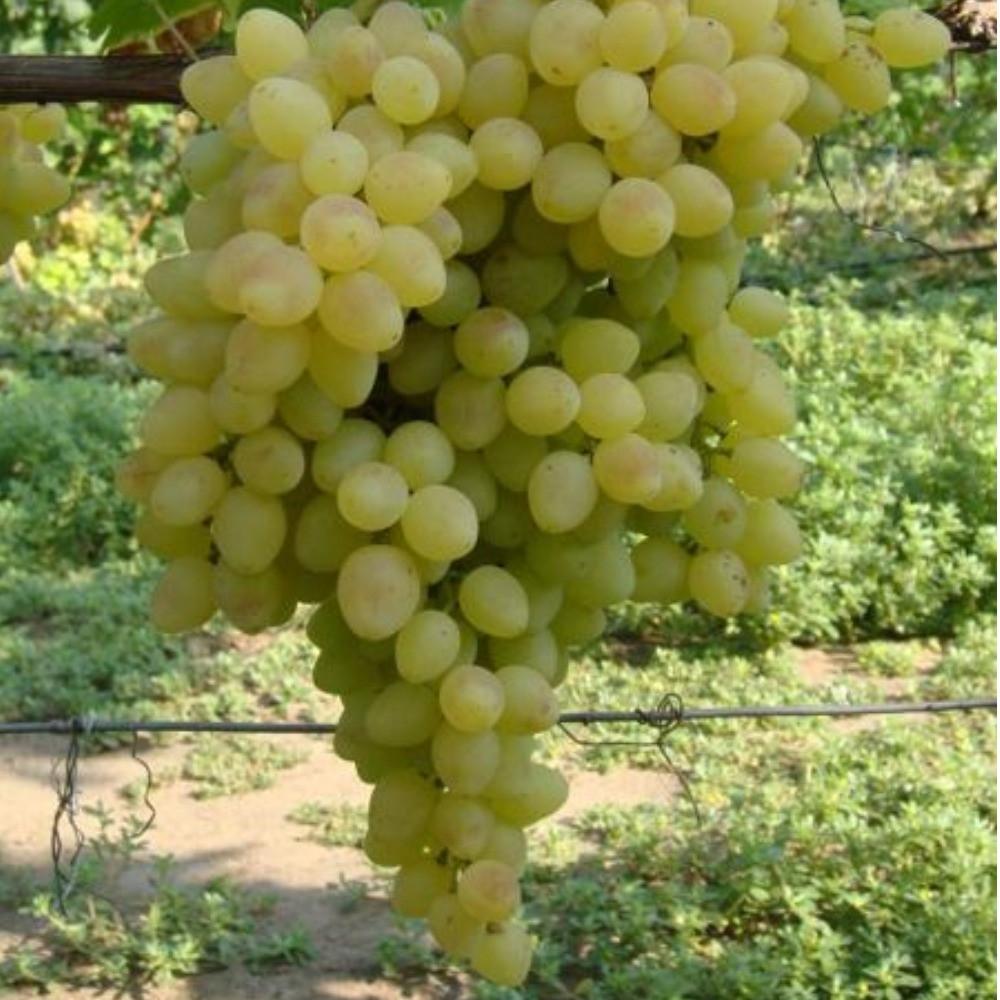 Виноград Кишмышовый Володар