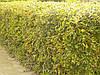 Барбарис Тунберга — красивейший из листопадных барбарисов