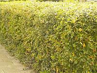 Барбарис Тунберга — красивейший из листопадных барбарисов, фото 1