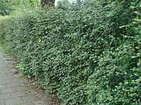 Кизильник. Главная привлекательность живых изгородей, фото 1
