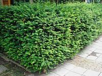 Тисс для жывой изгороди, фото 1